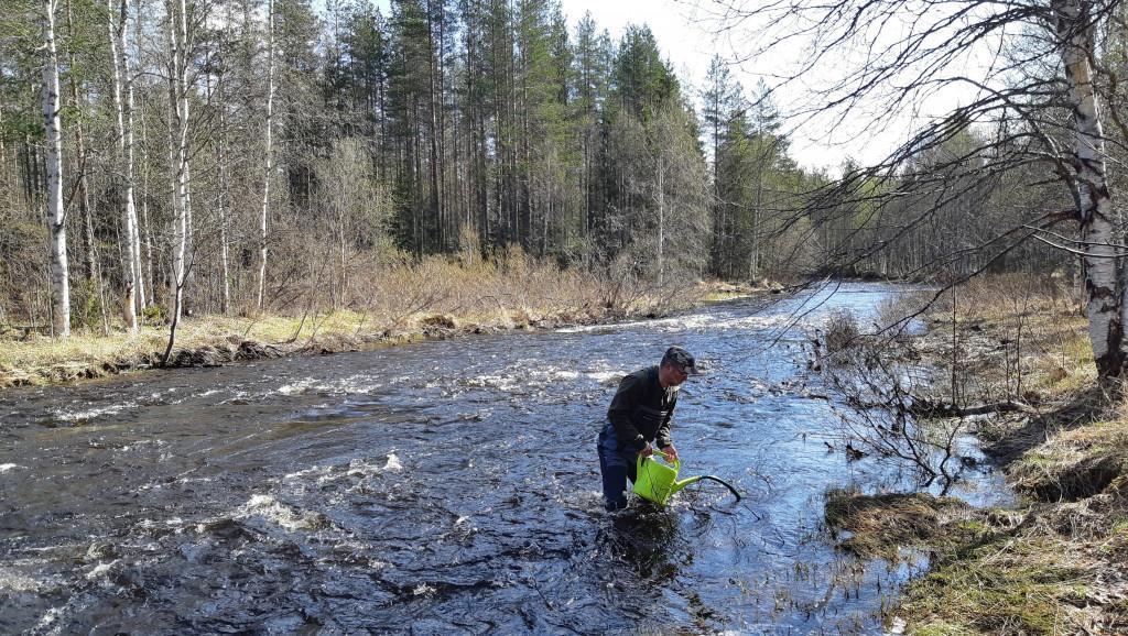 Mies istuttaa vastakuoriutuneita meritaimenia jokeen.